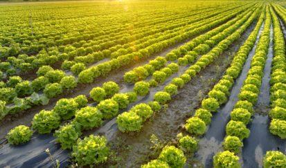 Champ de salades - agriculture de plein champ